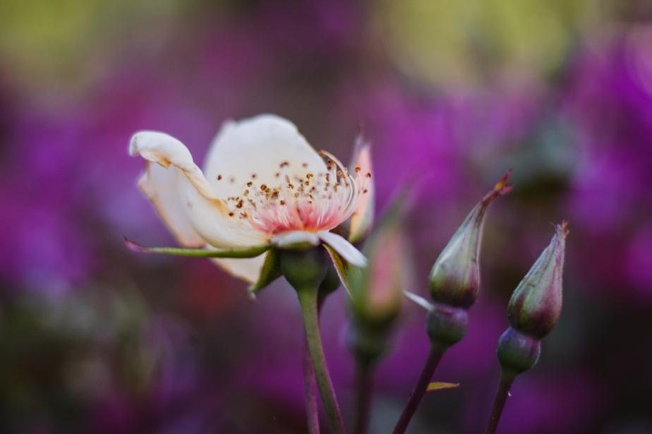 lila rosa blå!